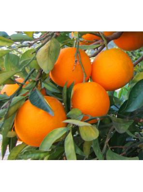 Sardinijos apelsinai 1kg