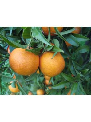 Sardinijos mandarinai 1kg